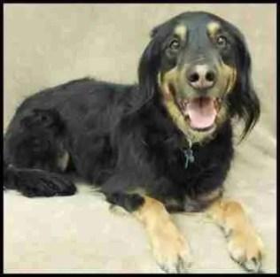 A posing Gordon setter dog named Grieg