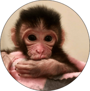 Baby Macaque sucking thumb