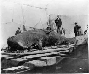 Baby sperm whale harpooned off Bermuda circa 1890.