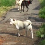 Perilous pathogens & pathological PR:  the rabies war in Bali,  by Lisa Warden,  director, DOGSTOP