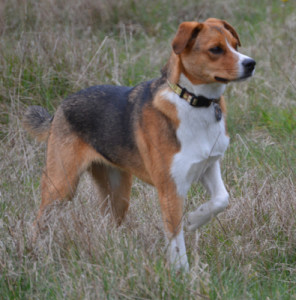 Beagle on the health beat. (Beth Clifton photo)