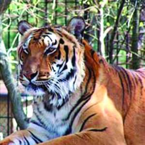 Bengali the elder. (Popcorn Park Zoo photo)