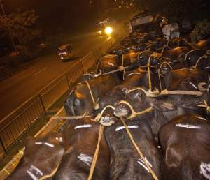 Bulls await use in jallikattu. (People for Cattle in India photo)