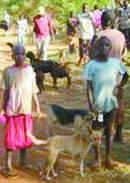 Camp dogs, Kenya