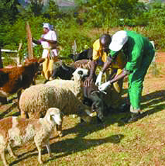 Livestock vaccination in Kenya.  (Africa Network for Animal Welfare photo)