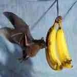 Going bananas may save bats from killer fungus