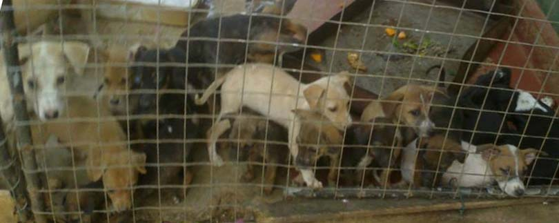 Puppies rescued from Anuradapura. (KACPAW photo.)