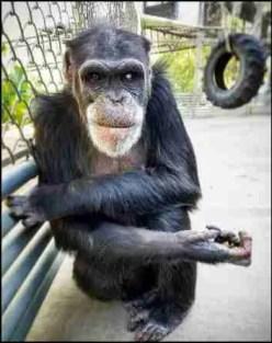 Charlie the chimp aka Chuckles