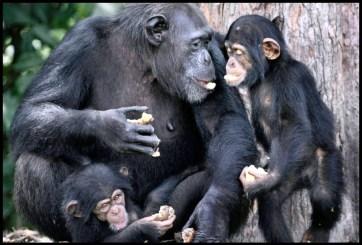 Liberian chimpanzees