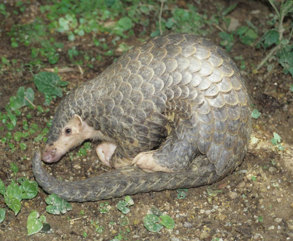 Armor Is Not Enough To Protect Pangolins Animals 24 7