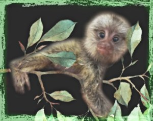 Common marmoset on a branch