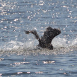 Feds hid data showing that killing cormorants will not help salmon & steelhead