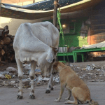 Two big breaks for Indian street dogs