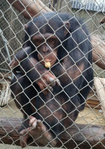Daphne the chimp expresses her view. (Beth Clifton photo)