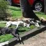 Perilous pathogens & pathological PR:  the rabies war in Bali