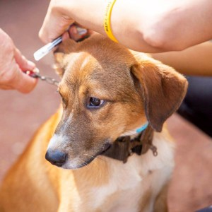Dog being vaccinated.   (Mission Rabies photo)