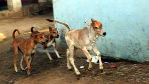 Street dogs chase a calf. (Eileen Weintraub photo)
