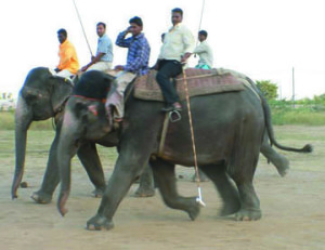 """Jaipur elephant polo in 2006,  before it became a big tourist attraction.  """"It looks to me as though they are smiling as they stretch out their legs,""""  wrote then-Help In Suffering head trustee Christine Townend,  who took this photo.  """"You can see there is no ankus in use.  The elephants quickly learn what they are meant to do,  and do it willingly,  without goading."""""""