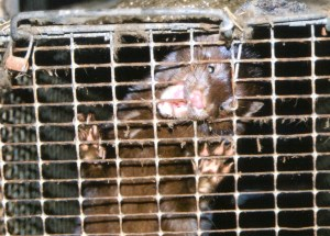 Ranched mink.  (Eurogroup for Animals photo)