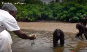 Feeding some of the former Vilab II chimps. (From Motherboard coverage, credited to Agnes Souchal.)