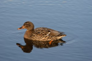 Evolving in waterfowl,  influenzas mutate to infect humans and other species.  (Beth Clifton photo)
