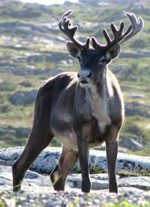 Young caribou. (Flickr photo)