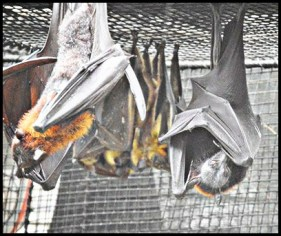 Fruit bats at Lowry Park Zoo.