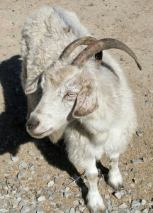 "All hoofed animals are considered ""red meat"" by WHO and IACR. This goat has another opinion of himself. (Beth Clifton photo)"
