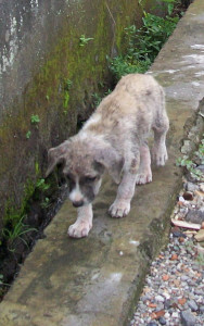 Bali pup foraging along a gutter.  This pup in January 2010 found a home through BAWA. (MC)