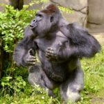 "Myth:  that the gorilla Harambe ""protected"" fallen four-year-old"