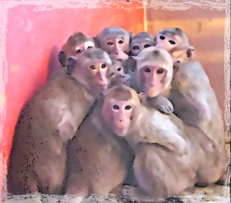 Hendry County Macaques