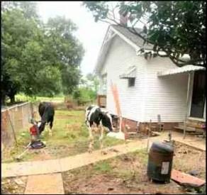 Hurricane Laura RD Livestock photo Louisiana