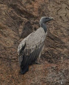 Indian vulture. (Wikipedia)