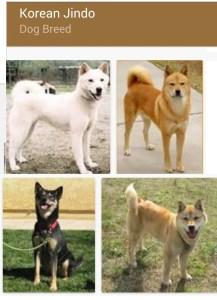 Jindo dogs