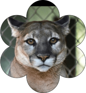 Kali the cougar