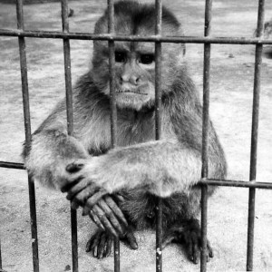 Monkey used in Harry Harlow's experiments.