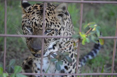 Leopard at Big Cat Rescue. (Beth Clifton photo)