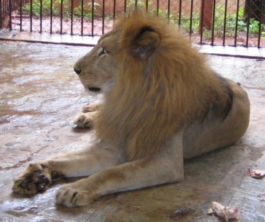 Lion rescued from flooded zoo by Wildlife SOS, India.