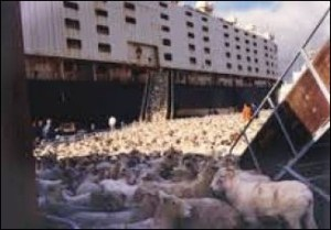 Livestock ship yard with sheep