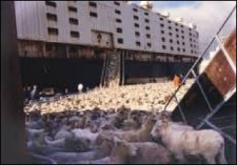 Livestock ship yard with sheep