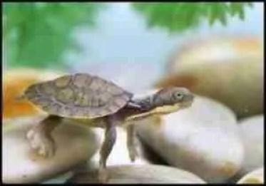 Manning River Helmeted Turtle