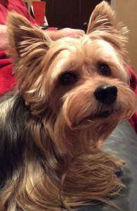Max the Yorkie. (Jackie Young photo)