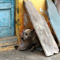 Indian street dog.  (Mission Rabies photo)
