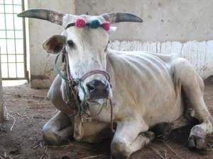 Old bullock. (Help Animals India photo)