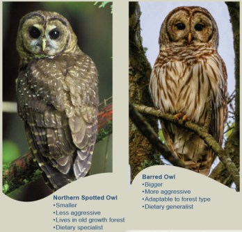 U.S. Fish & Wildlife Service comparison of spotted owls and barred owls.