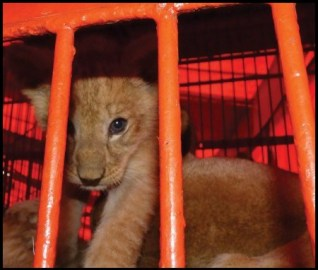 Lion cub from Peruvian circus