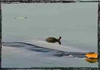 Cu Rua & smaller turtle