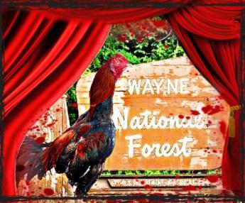 Rooster at Wayne National Forrest