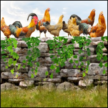 Chickens & stone wall, by Beth Clifton
