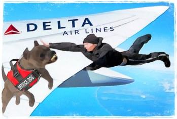 Delta pit bull service dog